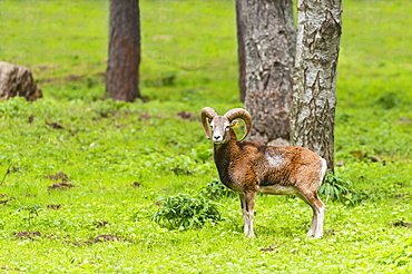European mouflon, Spain