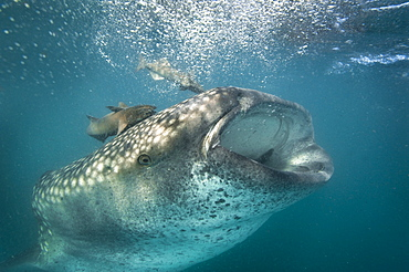 Whale Shark sifting plankton with Remora -Gulf of California
