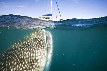 Whale Shark at the surface with a yacht, Gulf of California