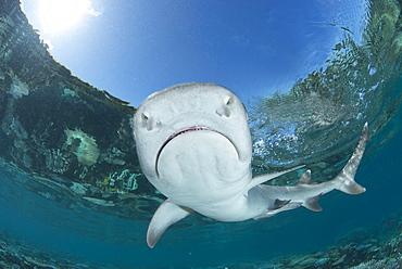 White-tip reef shark, Fiji Islands