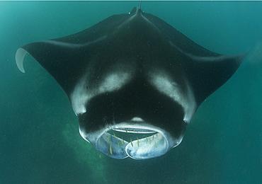 Giant manta, Fiji Islands