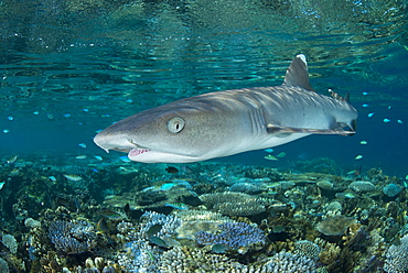White-tip reef shark over shallow coral reef, Fiji Islands