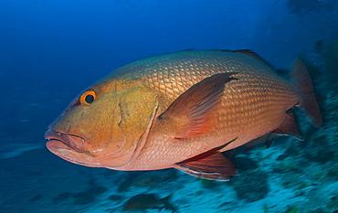 Red snapper, Fiji Islands