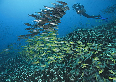Common bluestripe snapper and diver, Fiji Islands