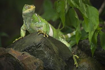 Fiji banded iguana on a rock, Fiji Islands