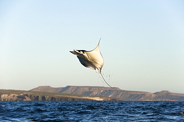 Mobula ray leaping, Gulf of California