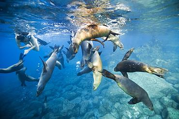 Snorkeler and California Sea lions, Gulf of California