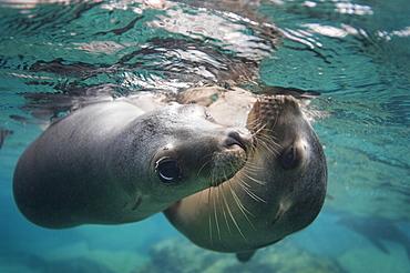 California Sea lions below the surface, Gulf of California