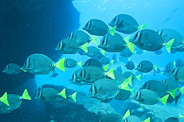 School of Yellow tailed surgeonfish , Gulf of California