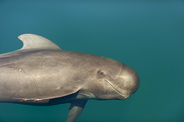 Head of young Pilot whale, Gulf of California