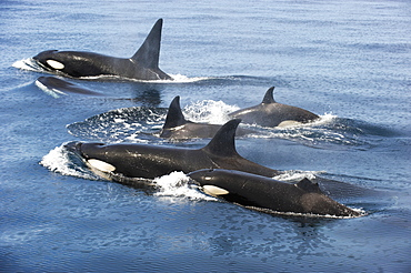 Killer whales swimming at the surface, Gulf of California