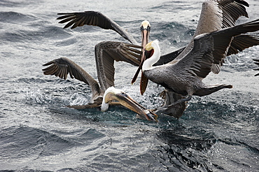 Brown pelicans and Blue footed Booby, Gulf of California