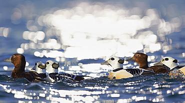 Steller's Eiders on water, Barents sea Norway