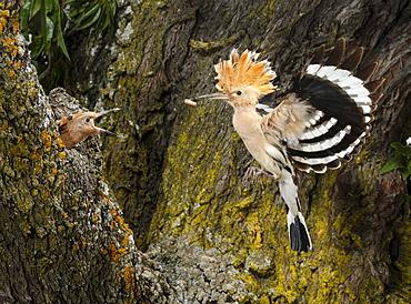 Eurasian Hoopoe feeding in flight, Spain