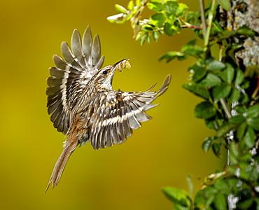 Short-toed Treecreeper feeding in flight, Spain