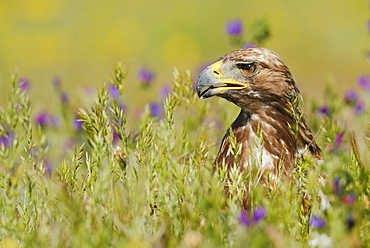 Portrait of Golden Eagle in the steppe, Spain
