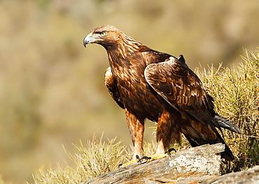 Golden Eagle on rock, Spain
