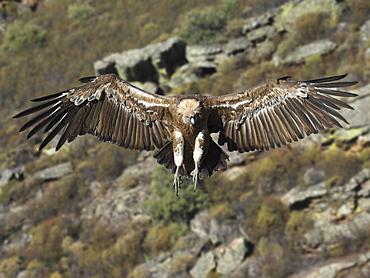 Griffon Vulture landing, Spain
