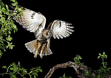 Long-eared Owl landing on a branch at night, Spain