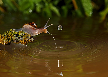 Burgundy Snail and water drop, Spain