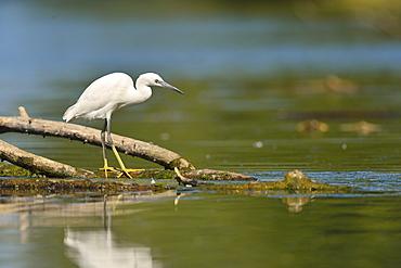 Little Egret fishing in a pond, France