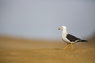 Belcher's gull on the sand, Reserve of Paracas Peru