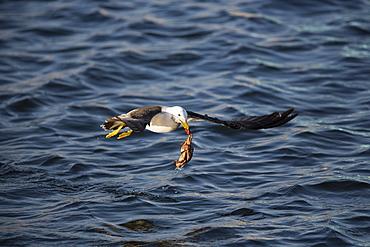 Belcher's gull with crab in its beak, Paracas Peru