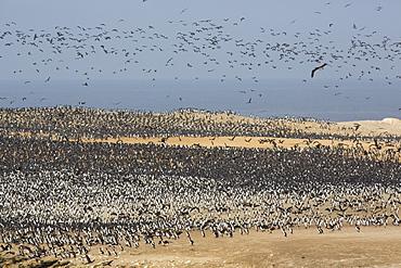 Colony of Guanay Cormorants, Punta San Juan Peru