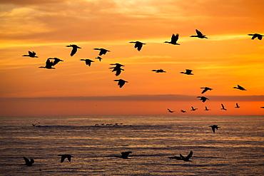 Guanay cormorants in flight , Punta San Juan Peru