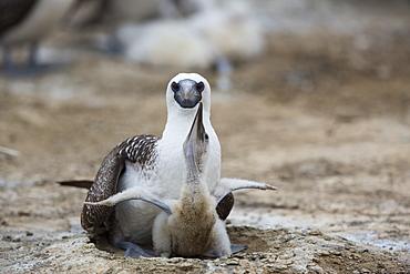 Peruvian booby and chick, Pescadores guano island Peru