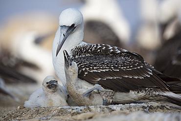 Peruvian booby and chicks, Pescadores guano island Peru
