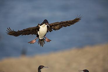 Guanay Cormorant in flight, Pescadores guano island  Peru
