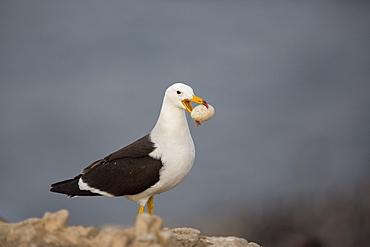 Belcher's gull with egg, Pescadores guano island  Peru