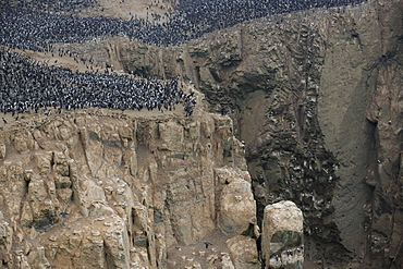 Guanay Cormorant colony, Pescadores guano island  Peru