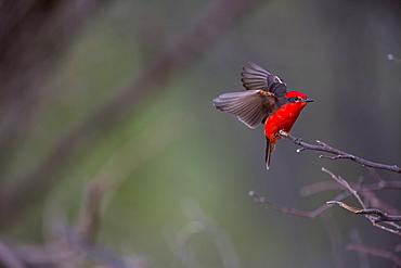 Vermillon flycatcher, San Fernandino Nazca Desert Peru