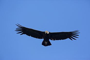 Andean Condor in flight, San Ferdinando Nazca Desert Peru