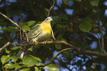 Yellow-footed green pigeon on branch, Royal Bardia NP Nepal