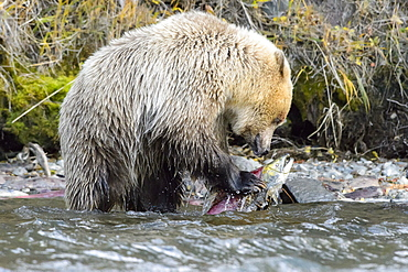 Young grizzly bear eating a sockeye salmon in Canada
