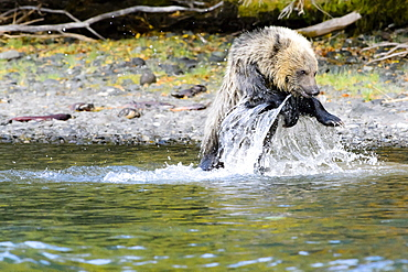 Grizzly bear cub playing in a stream in Canada