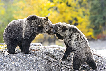 Grizzly bear cub playing to fight with her mom in Canada