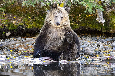 Grizzly bear cub sitting next to a stream in Canada