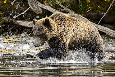 Grizzly bear male fishing a sockeye salmon in Canada