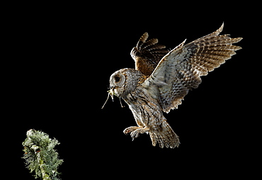 Eurasian Scops Owl in flight with prey, Spain