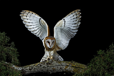 Barn owl on a branch at night, Spain