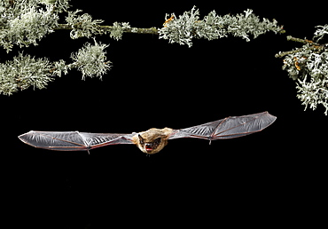 Serotine Bat flying at night, Spain