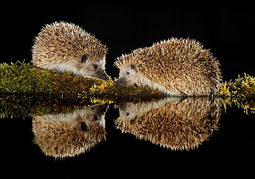 European hedgehogs at night and their reflection -Spain