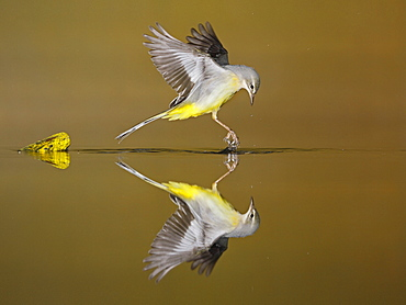 Grey Wagtail flying and its reflection, Spain