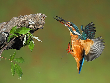 Common Kingfisher female flying towards a branch , Spain