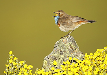 Bluethroat male singing on a rock, Spain