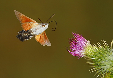 Hummingbird hawk-moth in flight, Spain